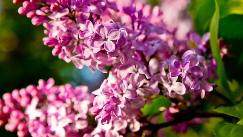 Химия запаха цветов Сирени