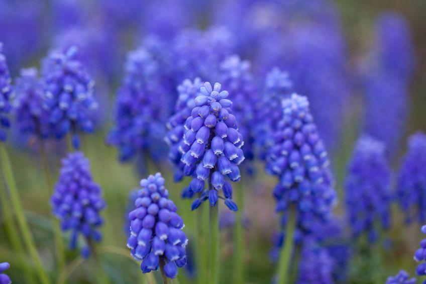 Химический состав запахов цветов Гиацинта