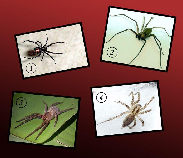 Токсичные для человека пауки