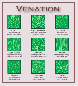 Leaves.venation